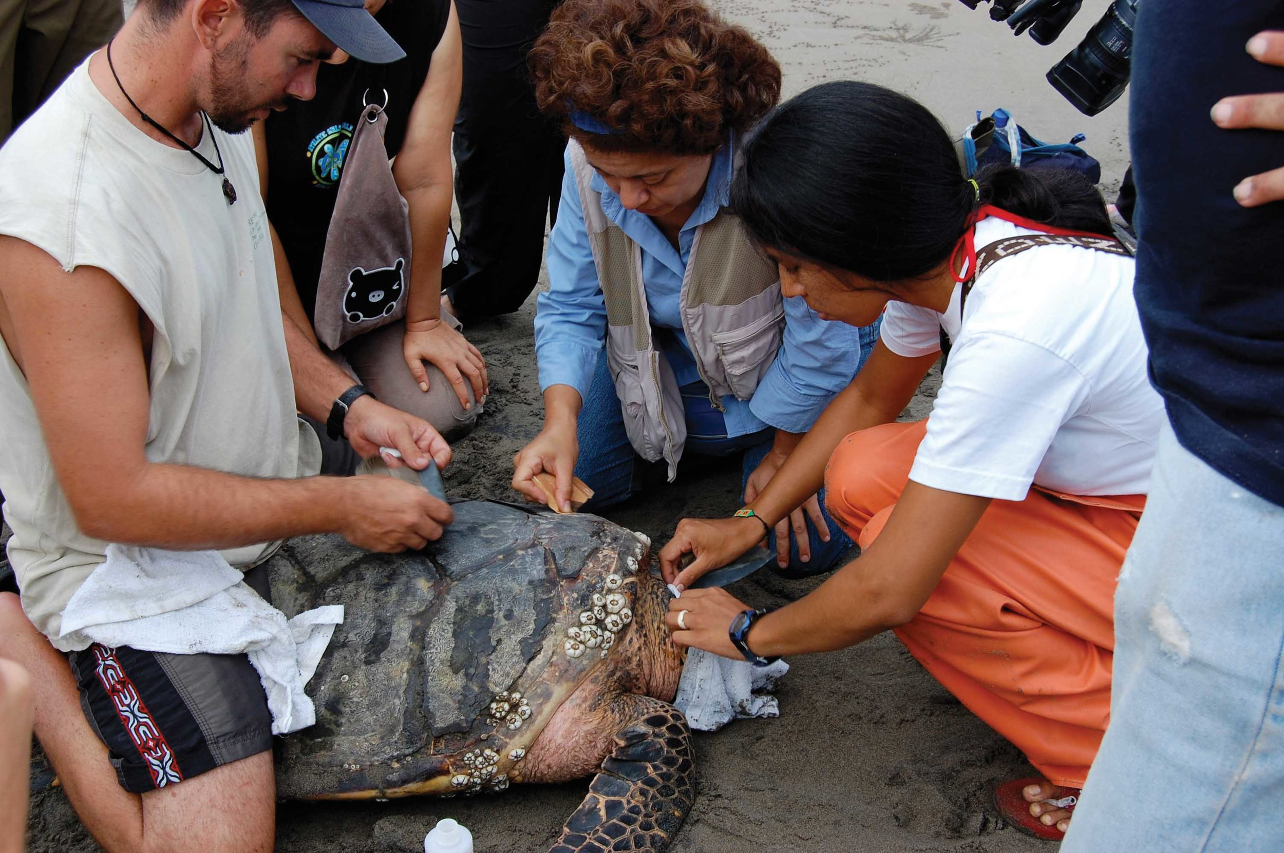 Members of the Eastern Pacific Hawksbill Initiative prepare to attach a satellite transmitter to an adult female hawksbill for the first time in the region. © Michael Liles