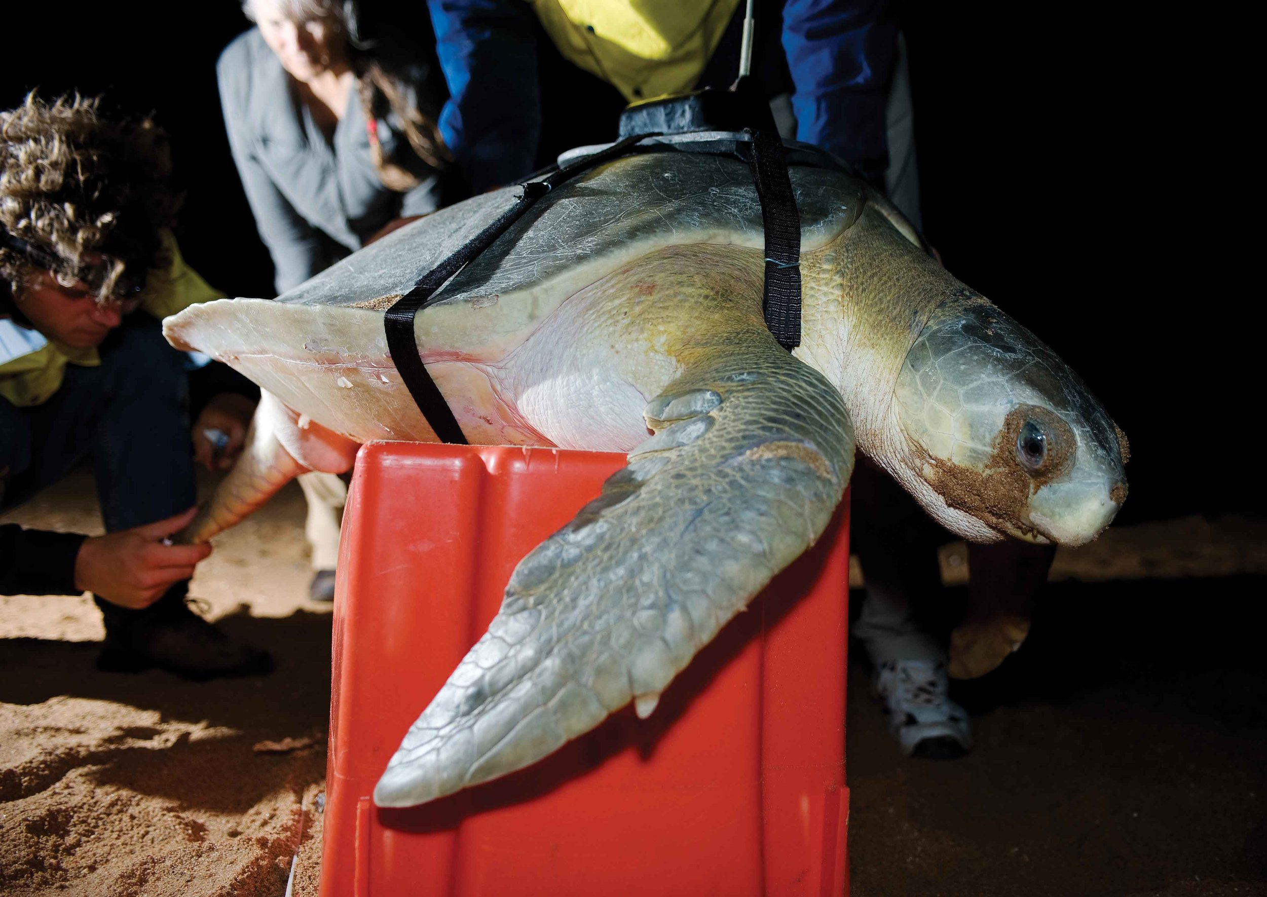 Researchers attach a satellite tag to a flatback turtle on Cemetery Beach in Port Hedland, Western Australia. Satellite tracking studies are shedding new light on the marine habitat use of flatback turtles, the only sea turtle species whose entire life cycle occurs on the continental shelf. © Calen Offield