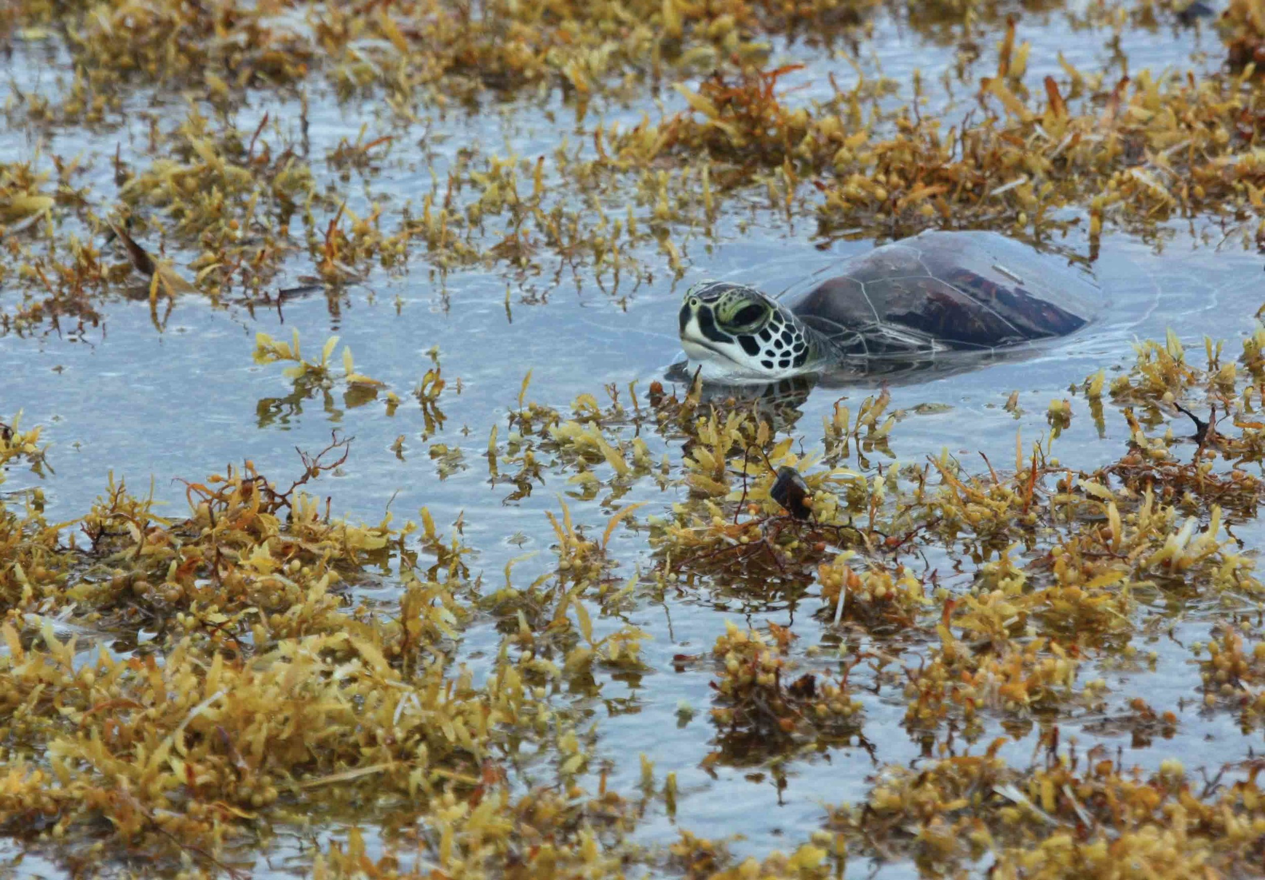 A juvenile green turtle drifts within pelagic Sargassum in the open waters of the Gulf of Mexico off the coast of Florida, U.S.A. Green turtles, loggerheads, hawksbills, and Kemp's ridleys all associate with open-ocean Sargassum during their early life stages. © Blair Witherington