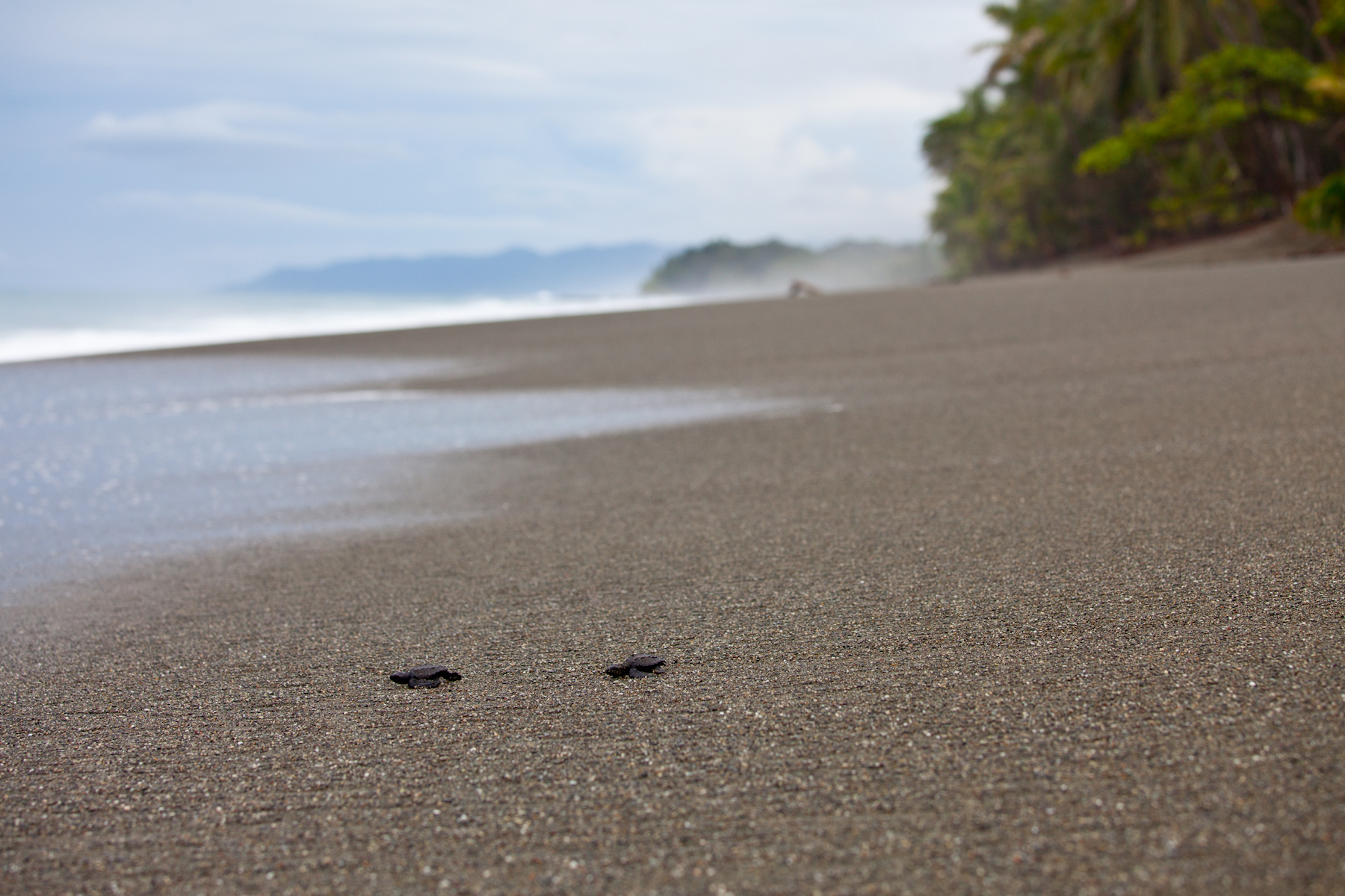Newly hatched olive ridley turtles crawl to the Pacific Ocean at Playa Piró on Costa RIca's Osa Peninsula. © Brian J Hutchinson