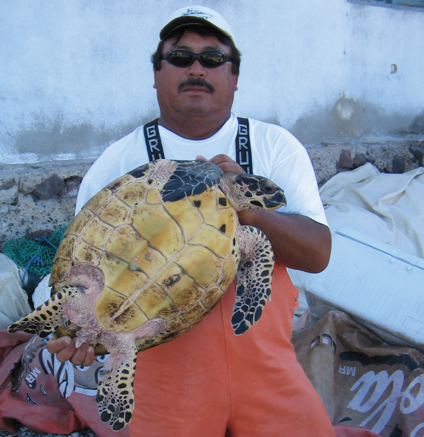 This hawksbill was captured in September 2007 at Isla Pardito, a small island north of La Paz in the Sea of Cortez. Local fishermen Gilberto Cuevas and staff at the organization Niparaja are some of the first participants to report hawksbill to the P ¡Carey! Network. Several hawkbill sightings have already been recorded at Isla Pardito. © Juan Salvador Aceves