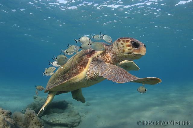 A loggerhead turtle at a cleaning station in the Mediterranean Sea. © Kostas Papafitsoros