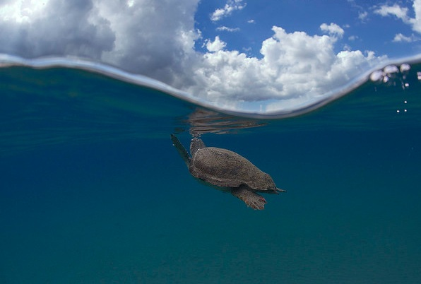 A loggerhead turtle surfaces to take a breath in the Mediterranean Sea. © Kostas Papafitsoros