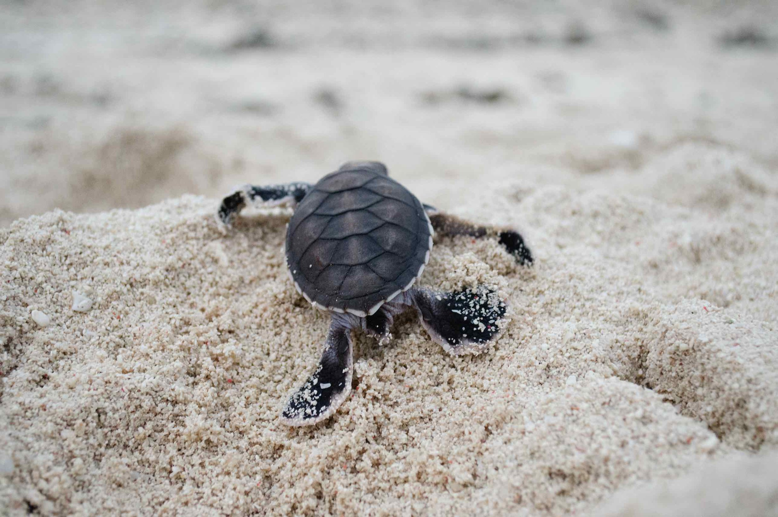 TURTLE HATCHLING, NEW CALEDONIA © CREDIT: THE OCEAN AGENCY / CORAL REEF IMAGE BANK