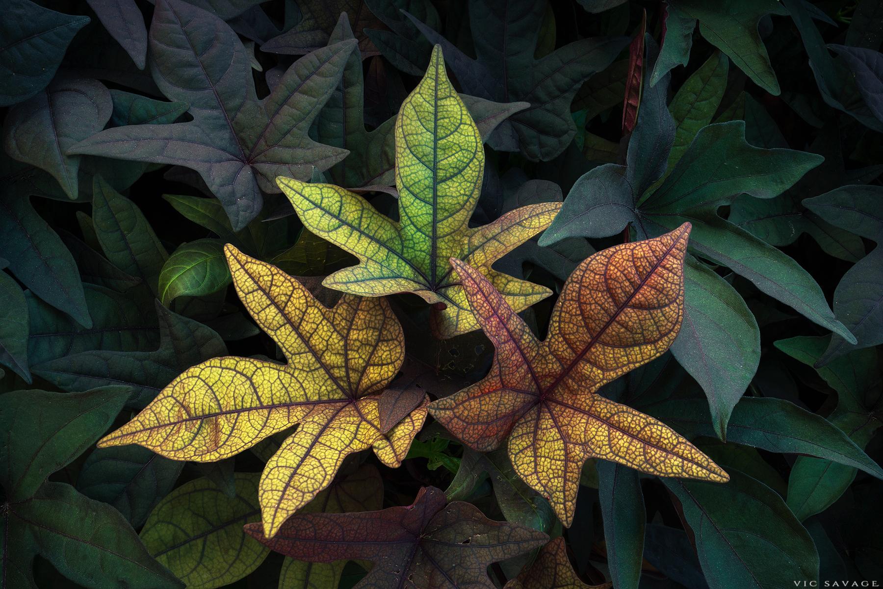 Three_Autumn_Leaves.jpg