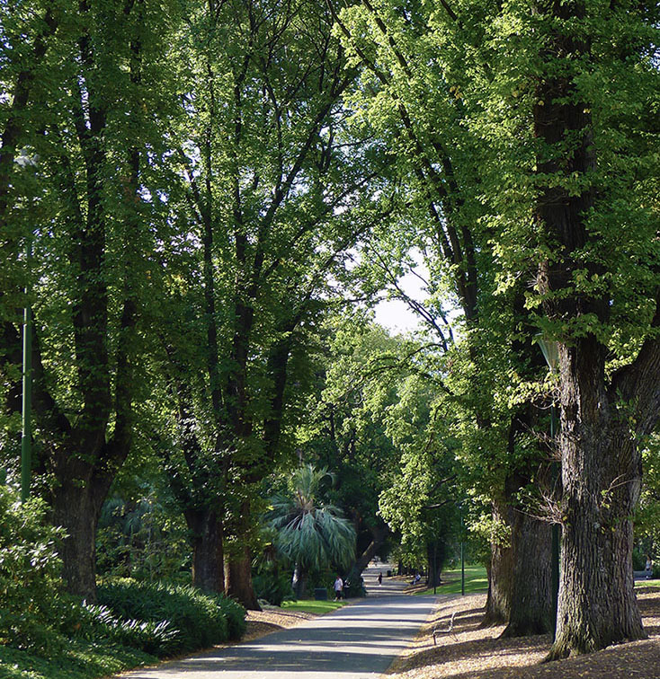 Stressed elm trees in Fitzroy Gardens