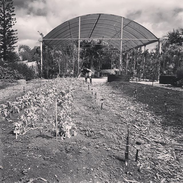 The glory of gardening: hands in the dirt, head in the sun, heart with nature. To nurture a garden is to feed not just on the body, but the soul. - #AlfredAustin  My heart is full from a fun morning of volunteering at #MarisGarden. 🌱#volunteer #hawaiiagriculture #hawaiiag #hawaiifarmer