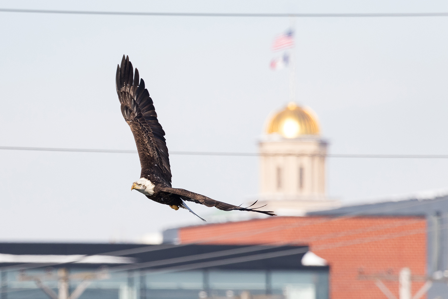 A bald eagle soars in front of the Old Capitol building in Iowa City on Friday, Feb. 1, 2019.