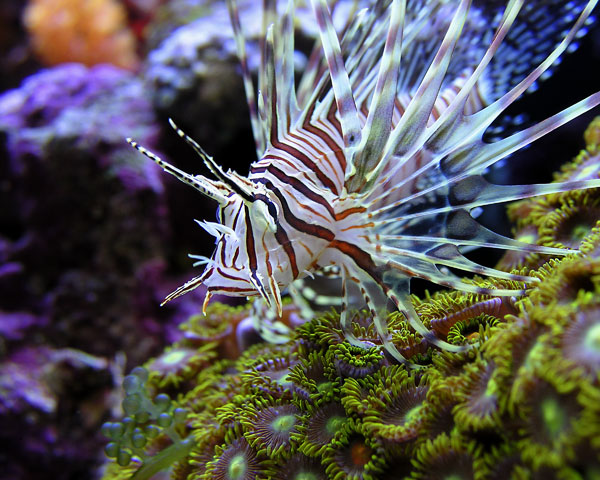 LIONFISH HANGING OUT