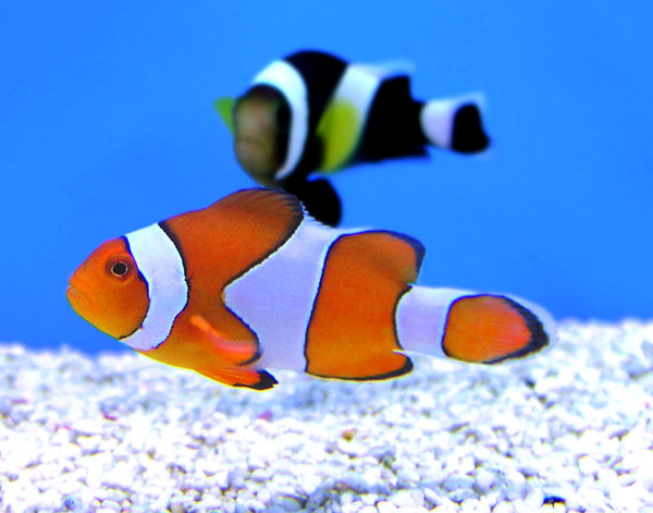 OH...HEY THERE!  Clownfish looking for a date.