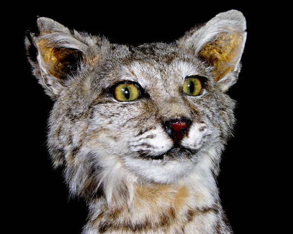 FRIENDLY FACE OF A BOBCAT