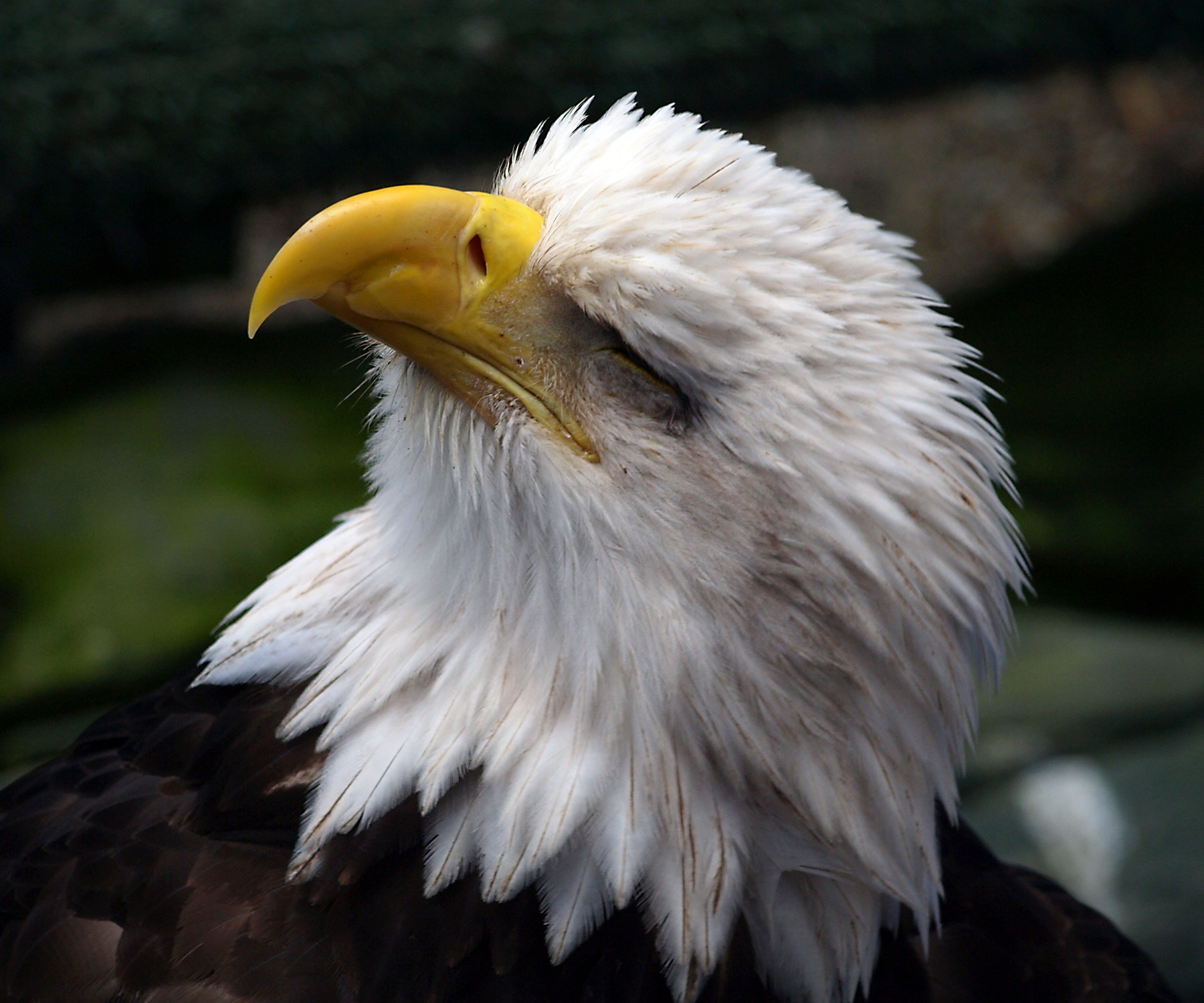 BALD EAGLE CLOSEUP.  Bald IS beautiful, just ask this photographer.