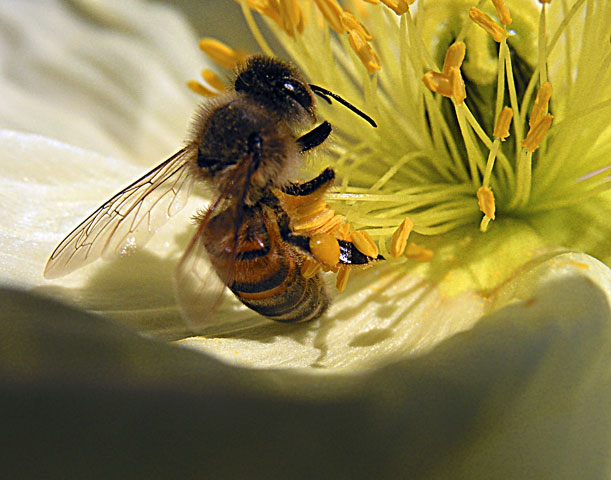 BEE COLLECTING POLLEN, CLOSEUP ON YELLOW FLOWER