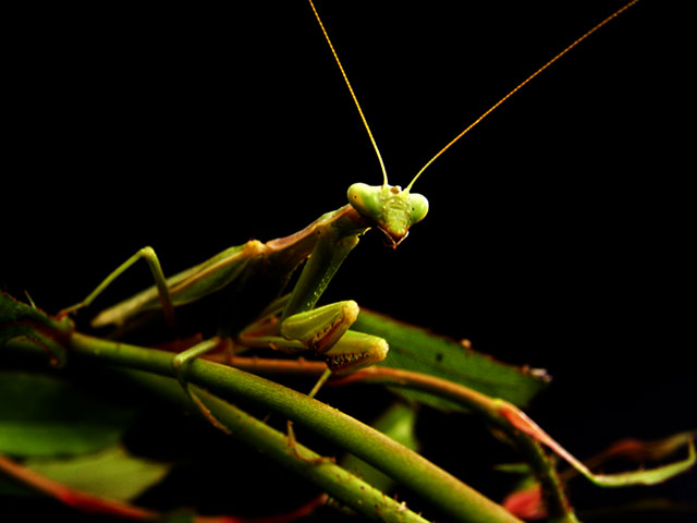 PRAYING MANTIS ON BLACK BACKGROUND