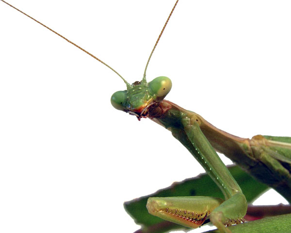PRAYING MANTIS SAYING HELLO