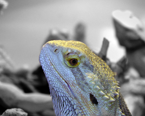 BEARDED DRAGON IN PROFILE