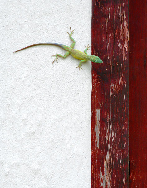 LIZARD ON WALL, somewhere on a Caribbean island.