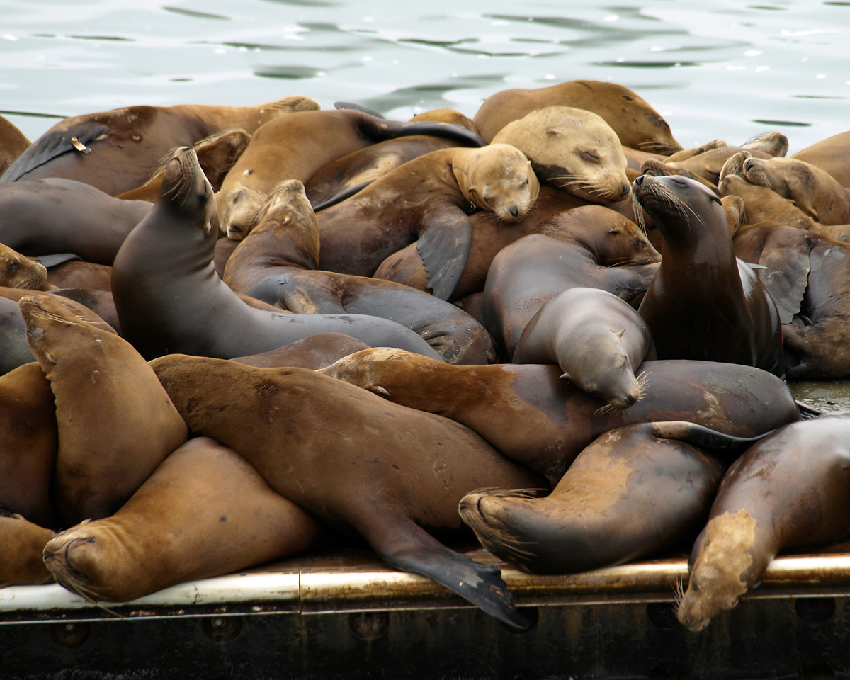 A GROUP EVENT.  Sea lions in central California.