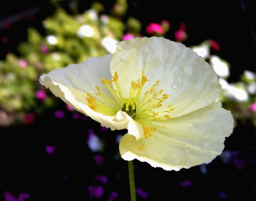 WHITE CALIFORNIA POPPY, shot in a field of poppies in Lancaster, California.