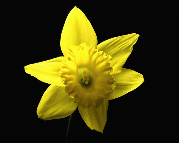 DAFFODIL FROM ABOVE