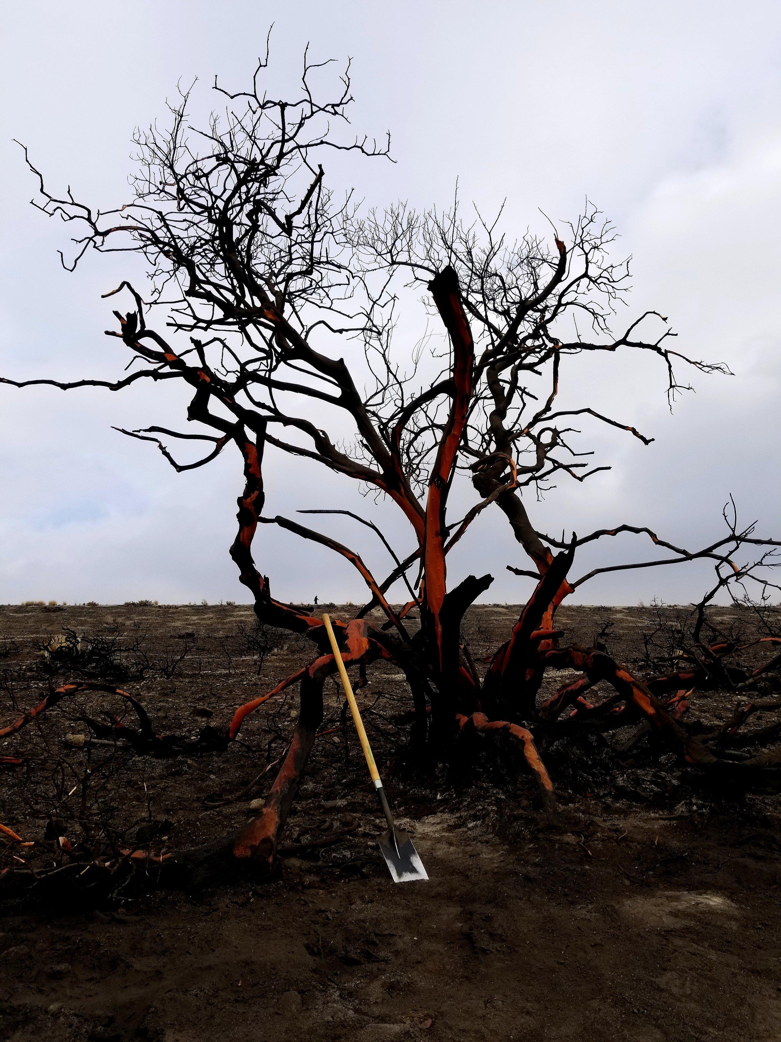 POST-FIRE MANZANITA TREE