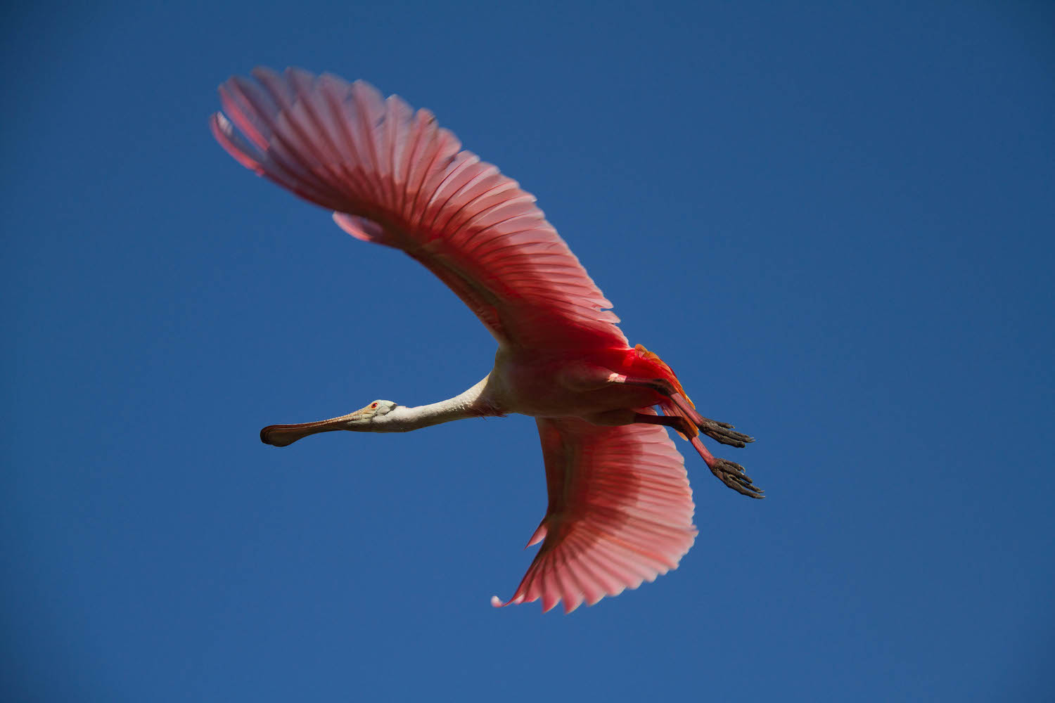 Roseate Spoonbill • St. Augustine, Florida; USA