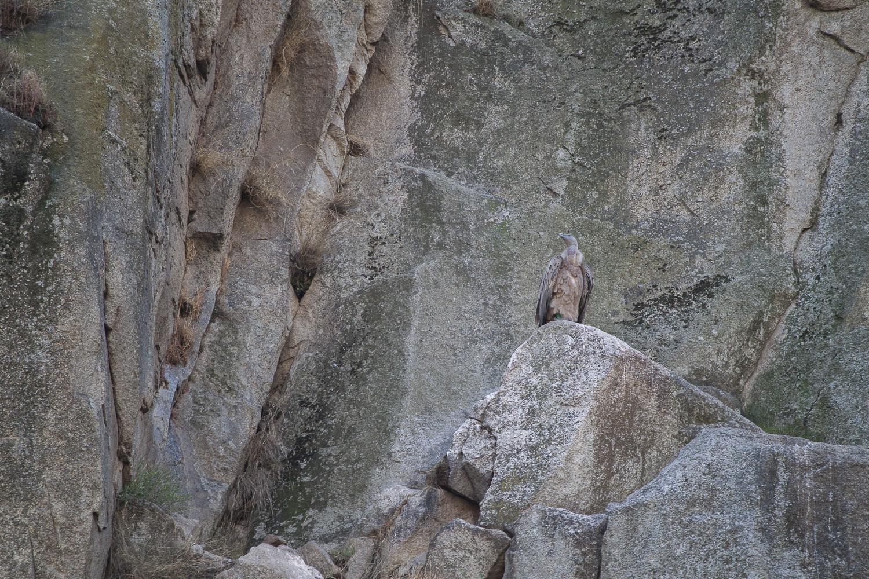 Griffon Vulture • Arribes del Duero Natural Park, Salamanca; Spain