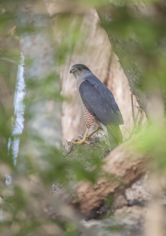 Cooper's Hawk • Winston Salem, North Carolina; USA