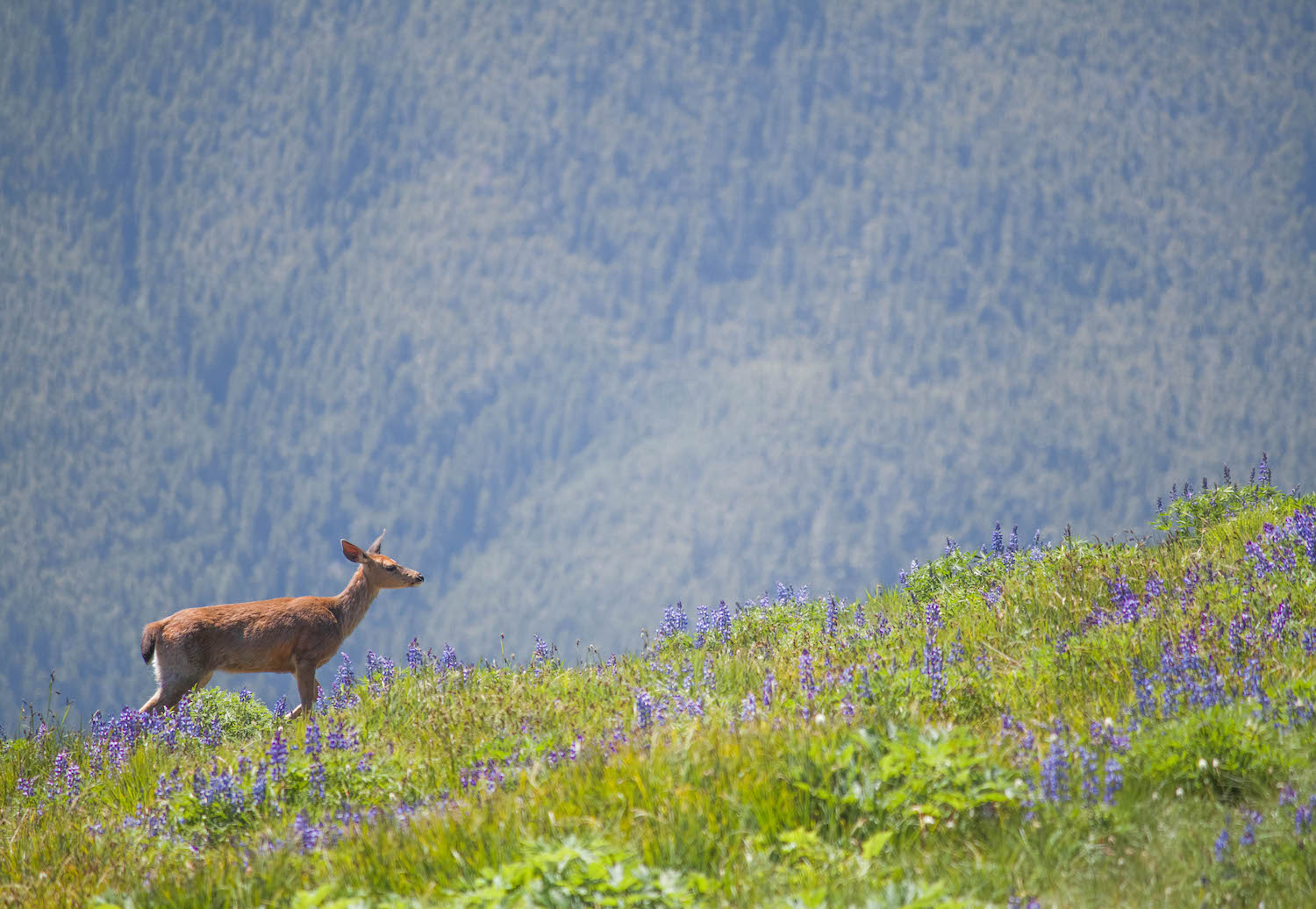 Black-Tailed Deer • Olympic National Park, Washington; USA