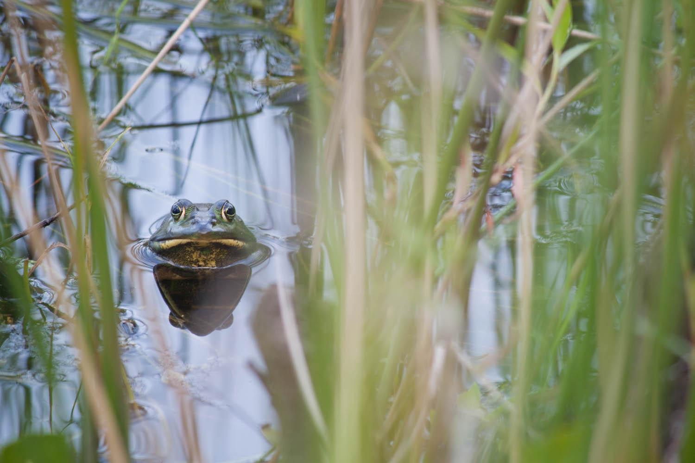 American Bullfrog • Jacksonville, Florida; USA