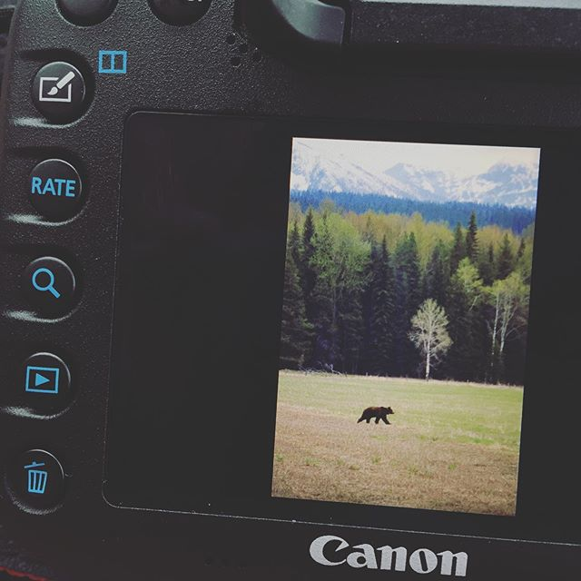 Super fun watching this grizzly root around in @glaciernps this afternoon!