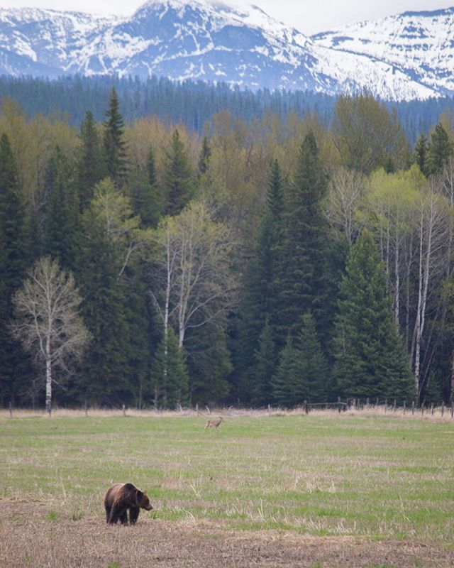 On day 1 of 3 in Glacier National Park, we saw a grizzly almost immediately. This particular bear was radio collared for monitoring. After backtracking two hours later, we saw him again in a field adjacent to our first sighting. For 45 minutes we watched as the bear rooted around for some grub. At one point the deer in the center wandered into view, and if you look closely, you can also see a ground squirrel perked up in between them. | ©@averylocklearphoto • @glaciernps, Montana; USA