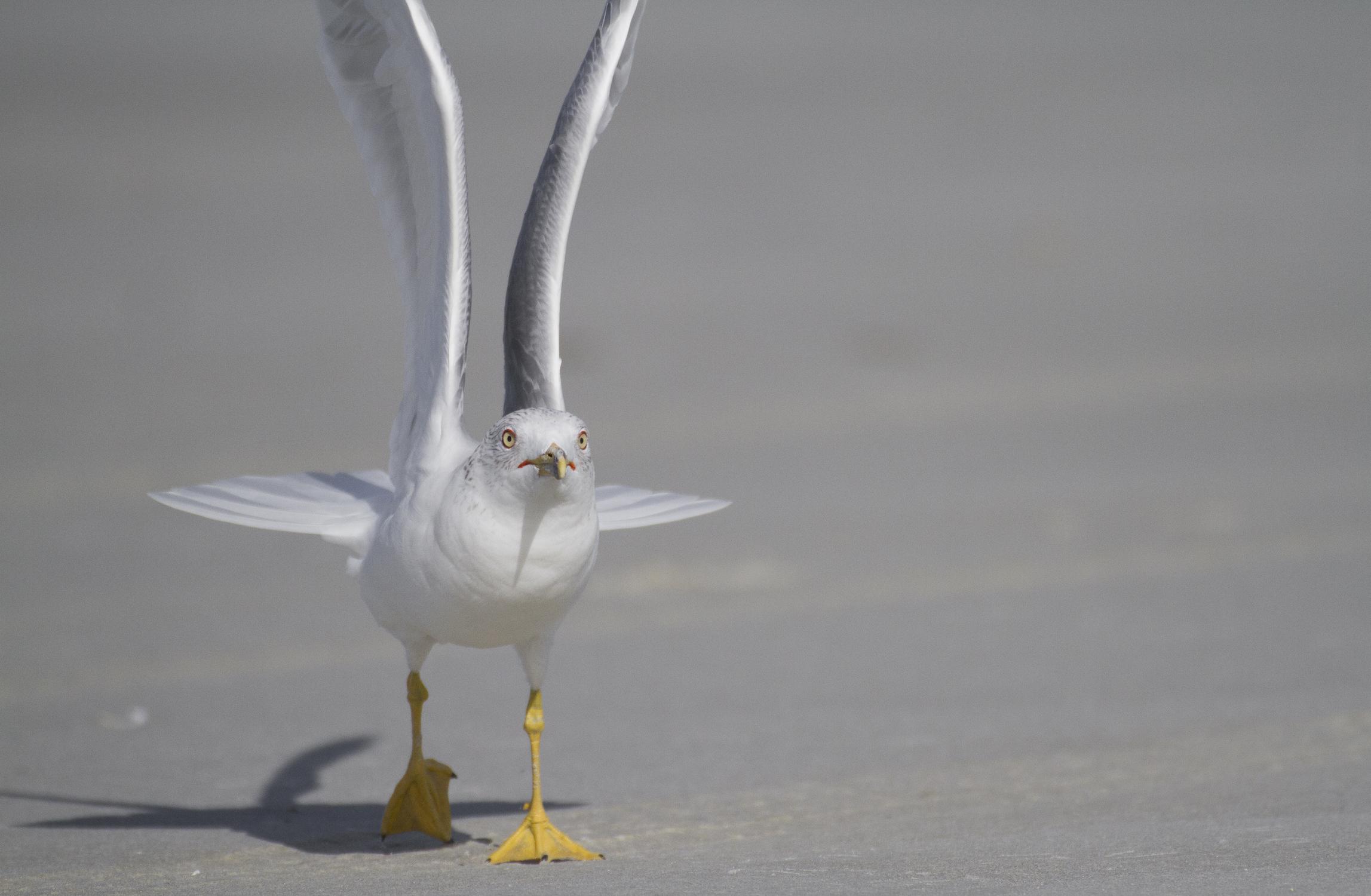 Gull • Cumberland Island National Seashore, Georgia; USA
