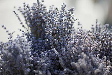 Lavender pic.JPG