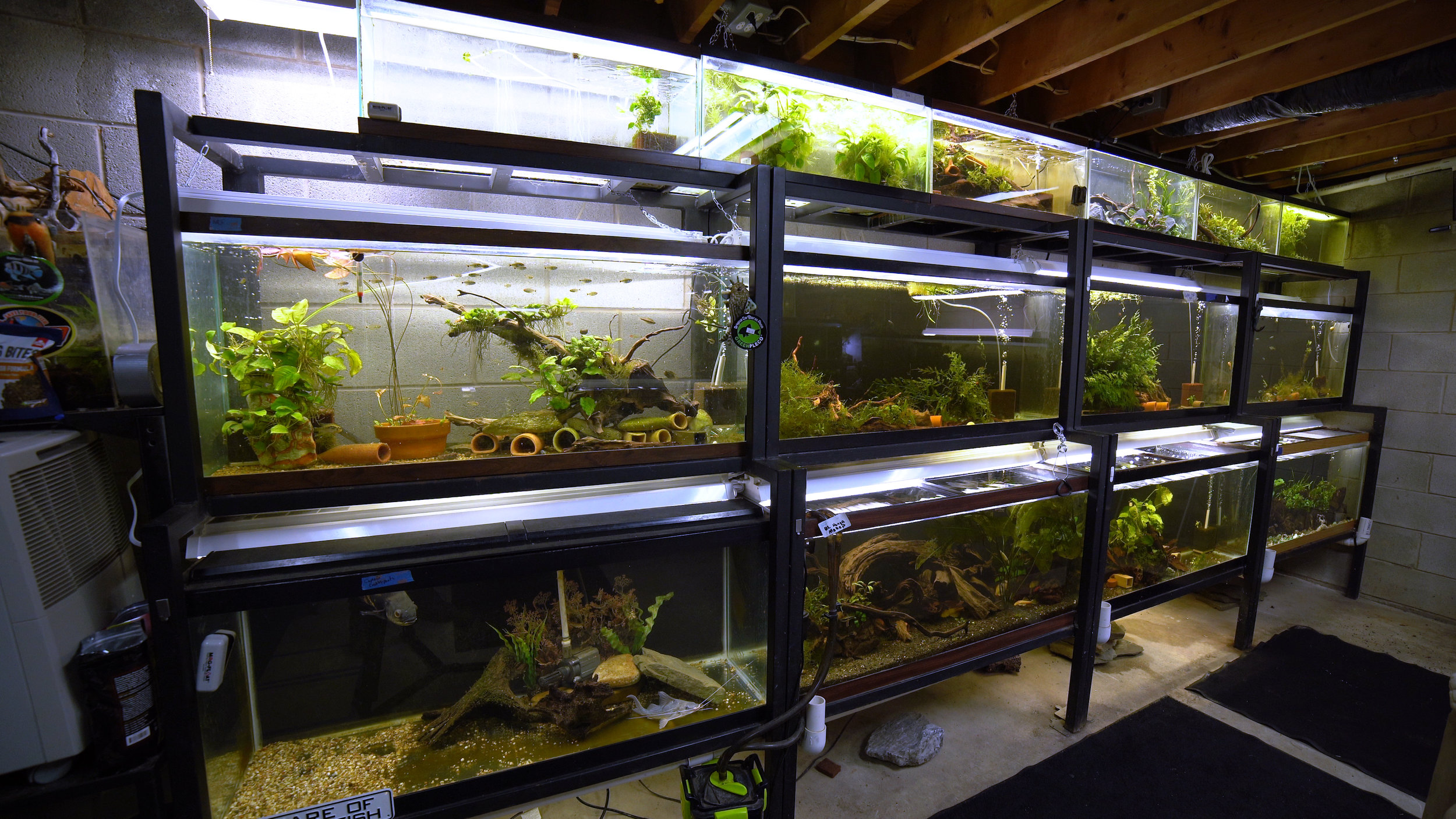 Some of the many racks that make up the fishroom. Each four-foot rack holds one 75-gallon aquarium on the bottom, a 55-gallon aquarium in the middle, and one or two 20-gallon tanks on top.