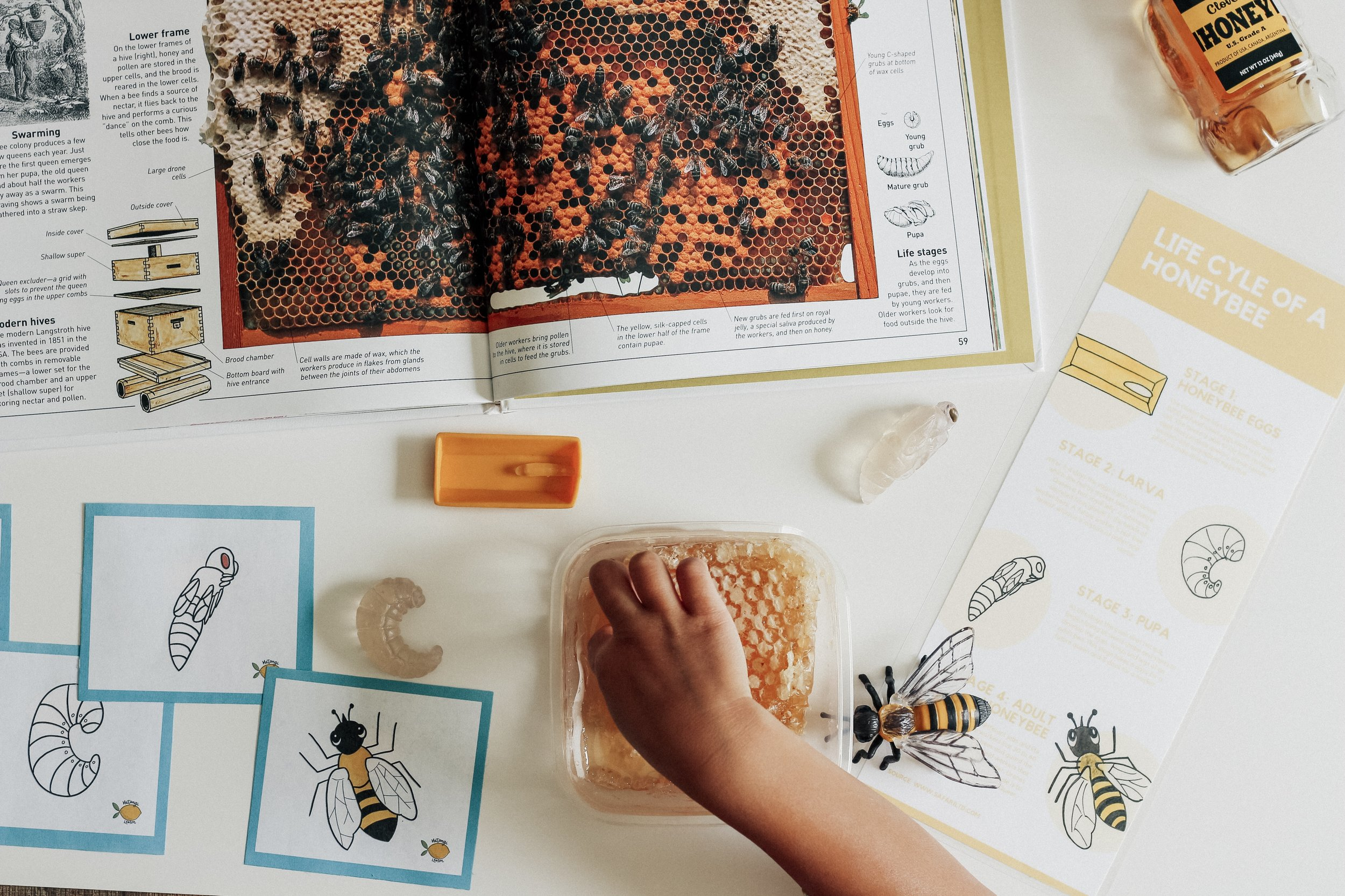 Honeybee life cycle go fish cards and infographic printables along with life cycle toys and real honeycomb! Read more about what we incorporated in our last bug unit by clicking  here !