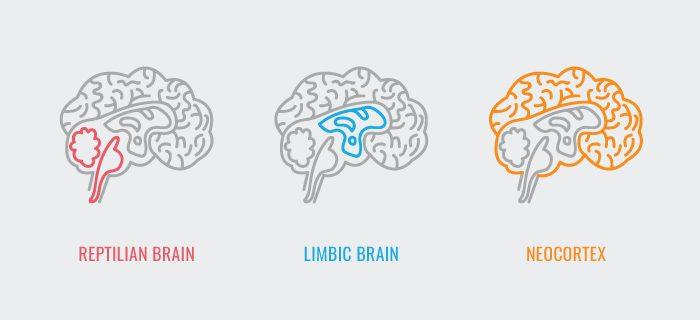 Simplistische en kunstzinnige weergave van de anatomie van de drie delen van het brein.