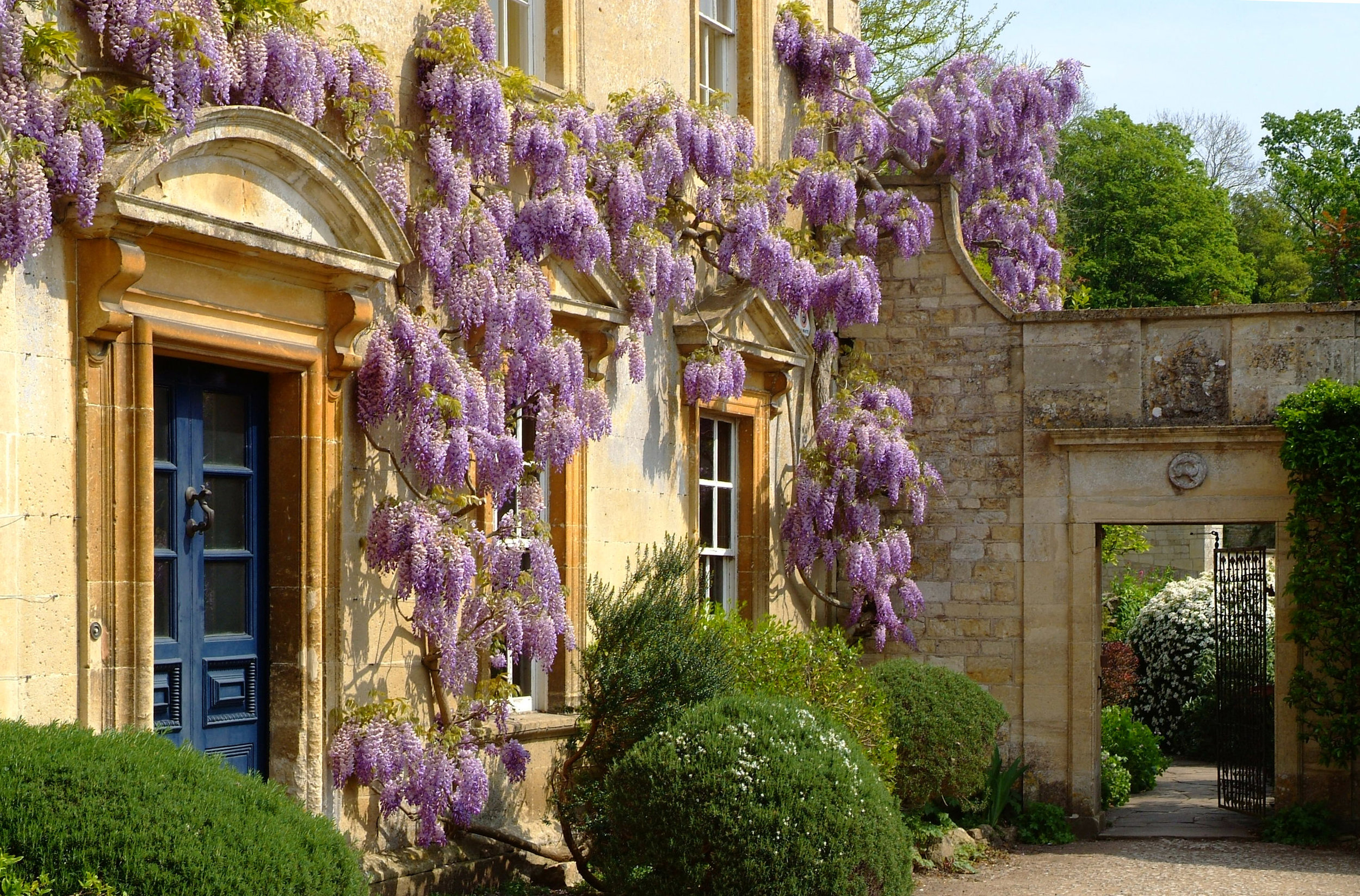 Wisteria over the front door