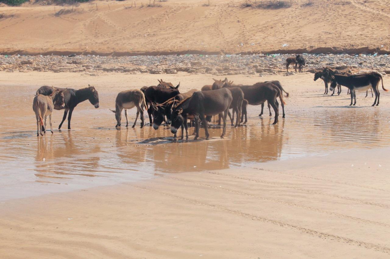 Wild Donkeys at the beach of Essaouira