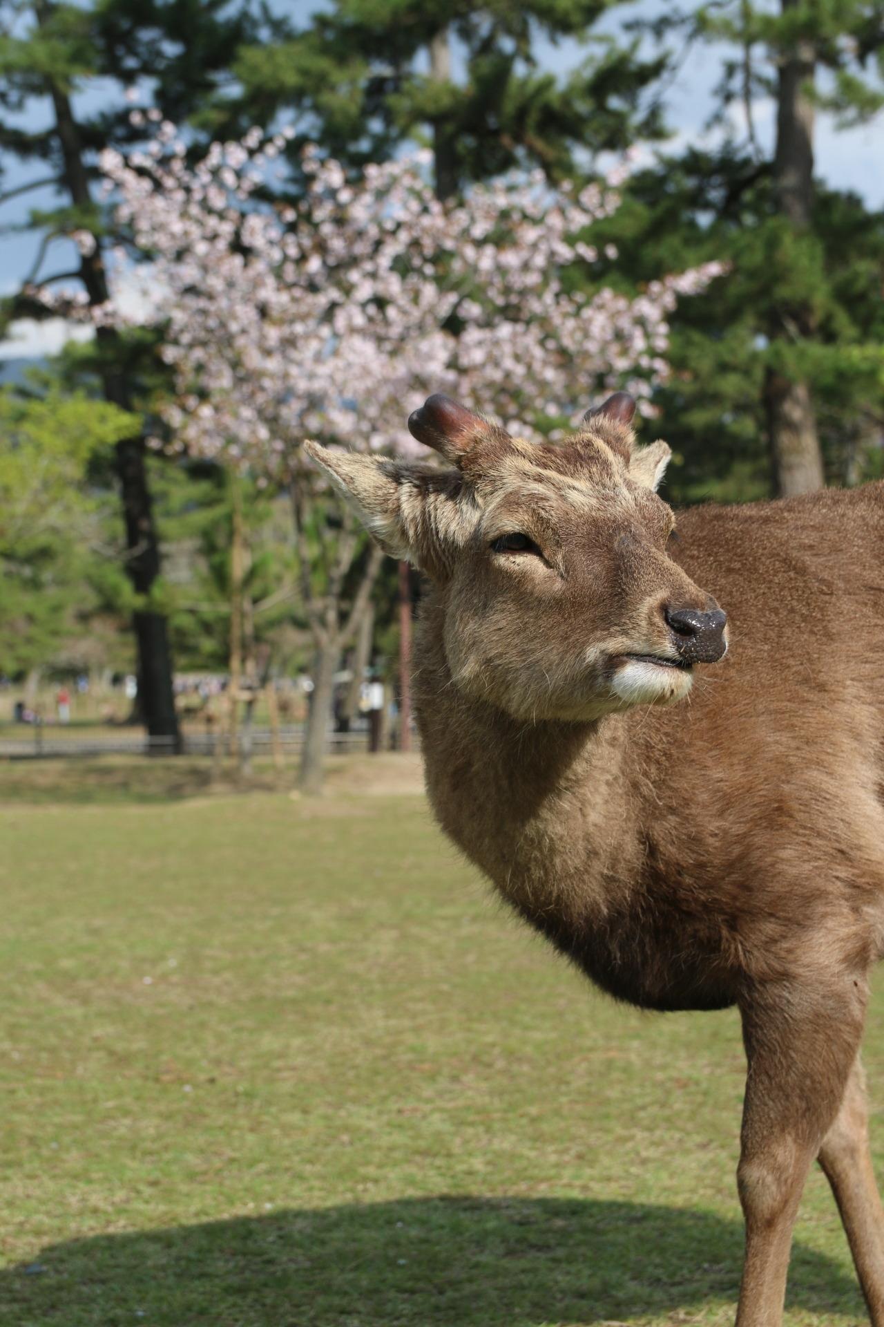 NARA - a japanese fairytale (deer content)
