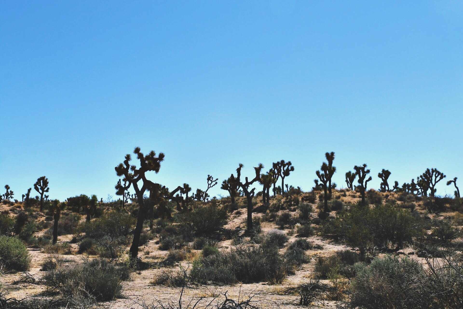 The Famous Trees of Joshua Tree National Park