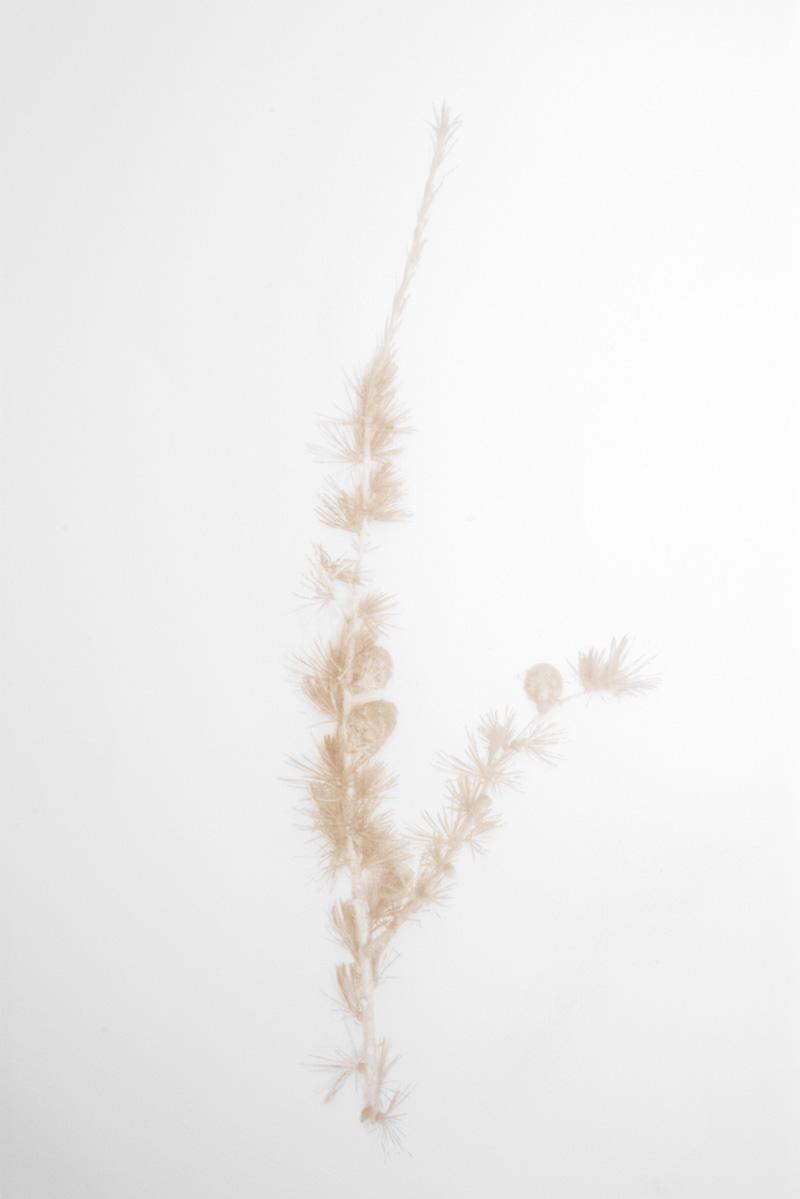 Jenny Smith ,  Larch , laser engraved print, 2018.