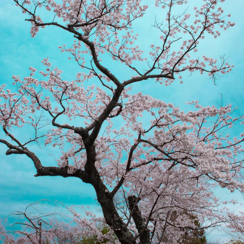 Linda Kosciewicz ,  Spring Song Japan 5 , Giclee fine art print.