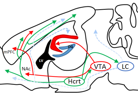 Schematic sagittal section showing hypocretin projections to arousal centers (LC/VTA). These downstream regions innervate areas important for learning and memory (i.e., hippocampus, mPFC…) (credit: JCB).