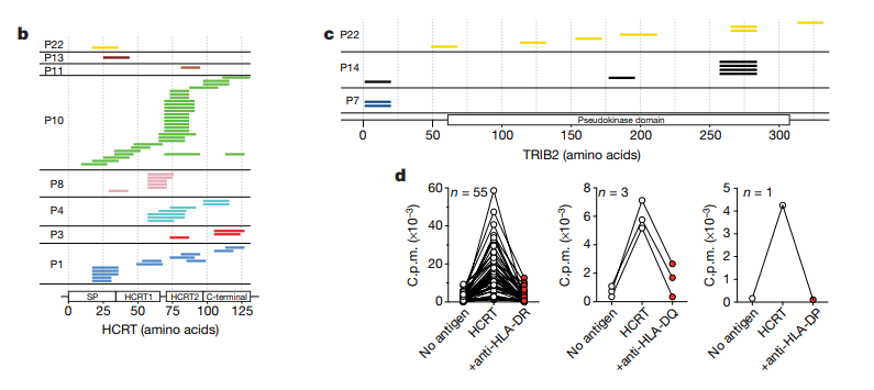 Epitope mapping of hcrt and TRIB2-specific autoreactive T cells. Each patient sample contains T-cell populations that react to different regions along the hypocretin and TRIB2 amino acid sequences. This is driven by antigen presentation through HLA-DR/DQ/DP, as blockade of these interactions prevent T cell expansion upon stimulation (Latorre et al., 2018).