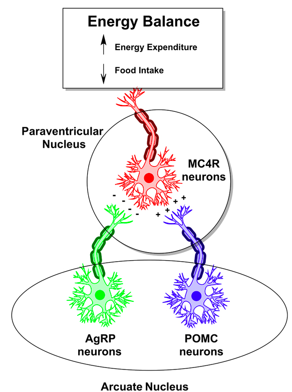 AgRP neurons in the arcuate promote food intake while POMC neurons inhibit food intake via their actions on downstream MC4R- expressing neurons in the paraventricular nucleus  (Credit: Carol A. Rouzer, Vanderbilt University)