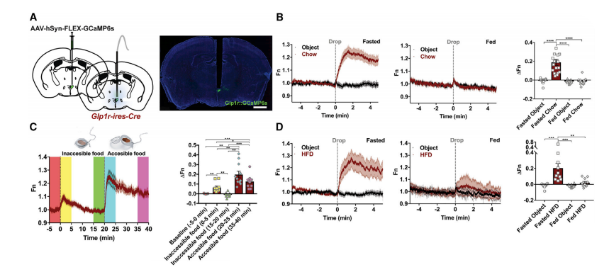 Fiber photometry allows for direct imaging of neural population activity in freely moving mice. In panel (A) we can see the placement of the optical fiber in the PVH to record signals coming from Glp1r-expressing neurons. Panel (B) shows that these cells do not respond to new objects placed in the environment, but do respond strongly to food when the mouse is hungry (fasted). Notably these cells don't respond to food when the mouse is full (fed). This effect is reduced when the food is inaccessible (minutes 0-20 of panel C), but pronounced when the mice can freely access the food (minutes 20-40 of panel C). In panel (D) we can see that this effect extends to high fat diet (HFD) in addition to the mouse's regular chow. Crh-expressing neurons showed the opposite patten (i.e., their activity was suppressed upon chow presentation after fasting; not shown)  (Credit: Li et al., 2018).