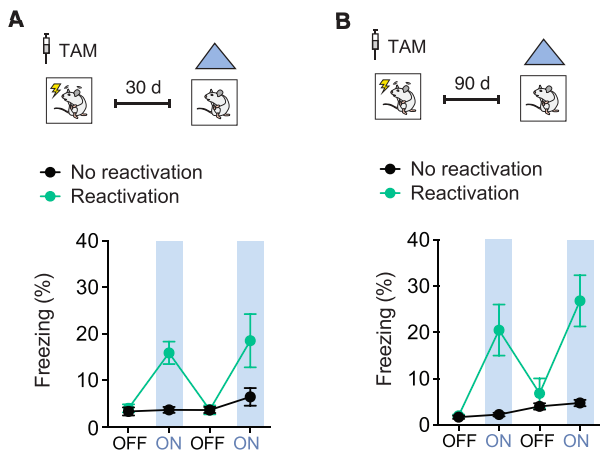 Reactivation of 'lost' memories in mice via optogenetic stimulation of neurons that were active during memory formation in early life. (A) Stimulation of cells activated in early life 30 days later caused mice to 'freeze', indicating they remembered the fearful memory; (B) this effect was long lasting, up to 90 days (longest they tested) (Credit: Guskjolen et al., 2018).