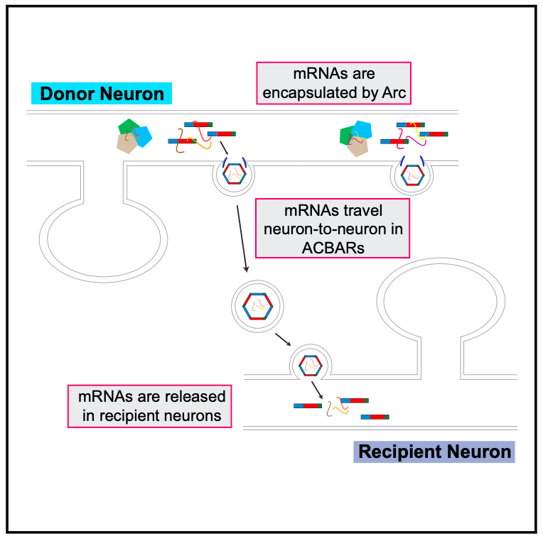 Intercellular transfer of messenger RNA via  arc -encoded virus like proteins! (Credit: Pastuzyn et al., 2018)