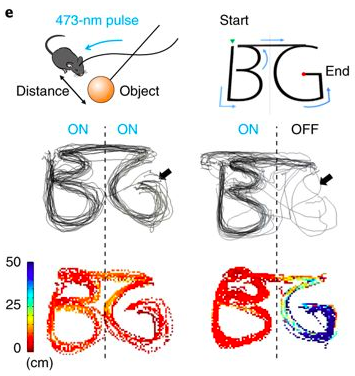 "Activation of the MPA—>vPAG circuit promoted hunting-like behavior in mice. Here, the researchers drew (with a little ball on a stick) the letters ""B"" and ""G"". When the laser was off, mice were scared of the object and stayed towards the edge of the arena, but when the laser was on, they hunted the object, so closely that they essentially drew the letters with their body chasing the ball!"